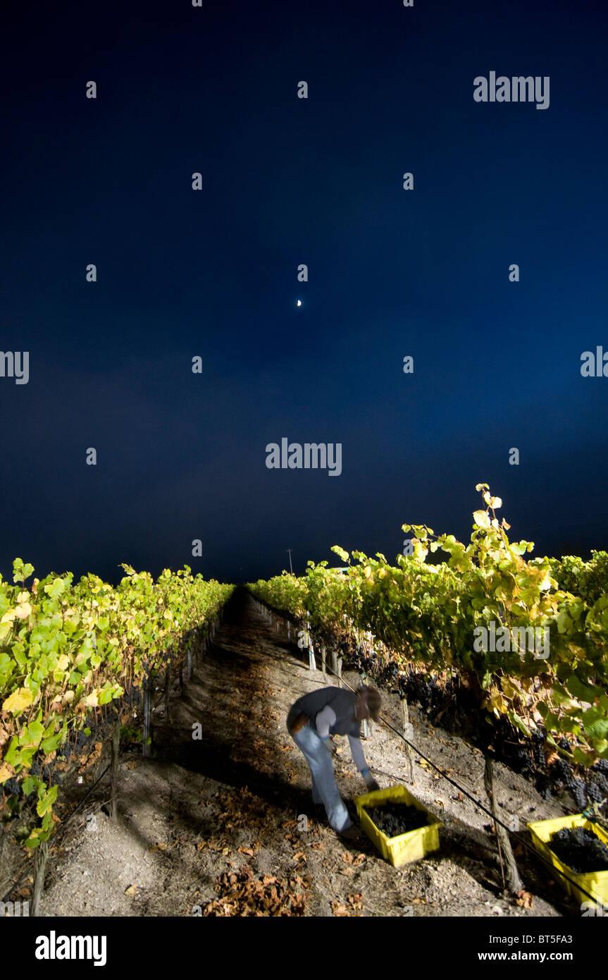 Night time grape picking at Laetitia Winery in Santa Barbara County near Santa Maria central California USA - Stock Image