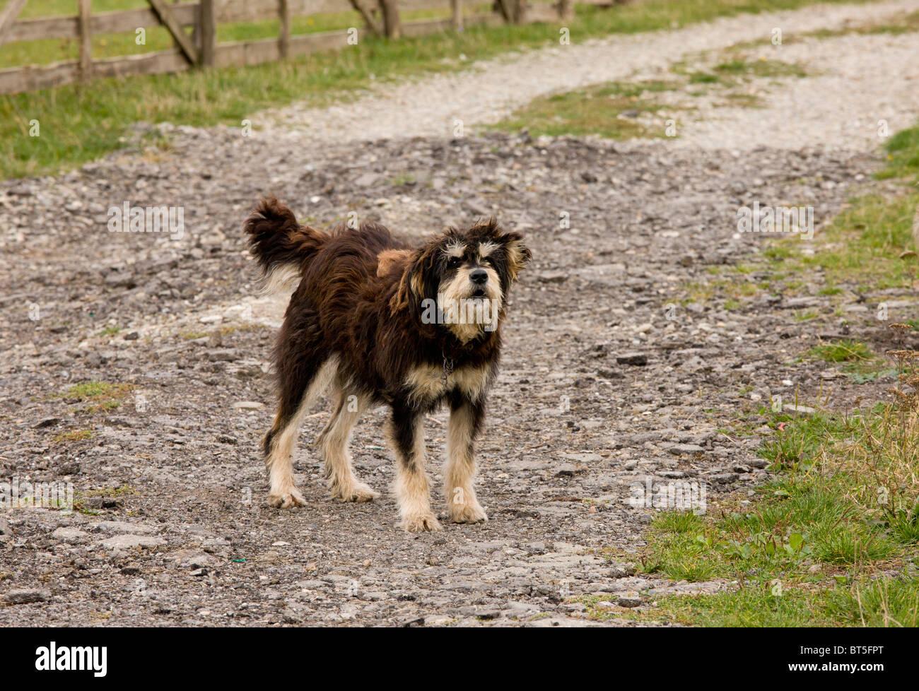 Sheep dog guarding sheep flock near saxon village of Soars, Transylvania; Romania - Stock Image