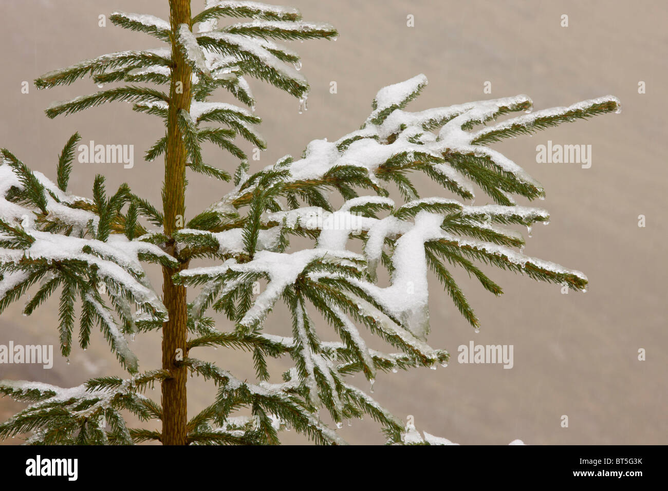 Norway Spruce tree covered with light snow and frost, high in the Fagaras Mountains, southern carpathians, Romania - Stock Image