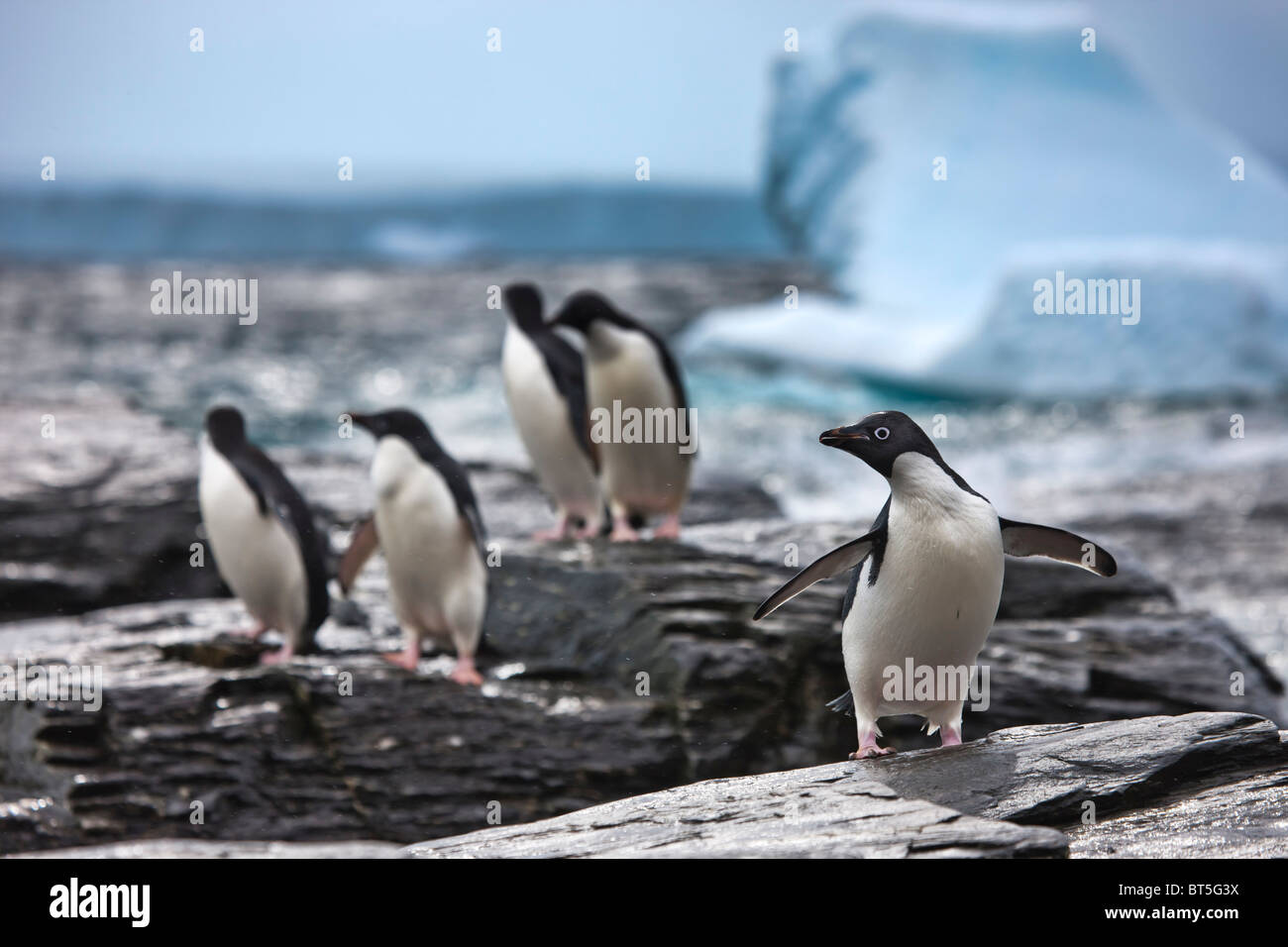 Adelie penguins and icebergs at Shingle Cove, Coronation Island, South Orkney Islands, Southern Ocean - Stock Image
