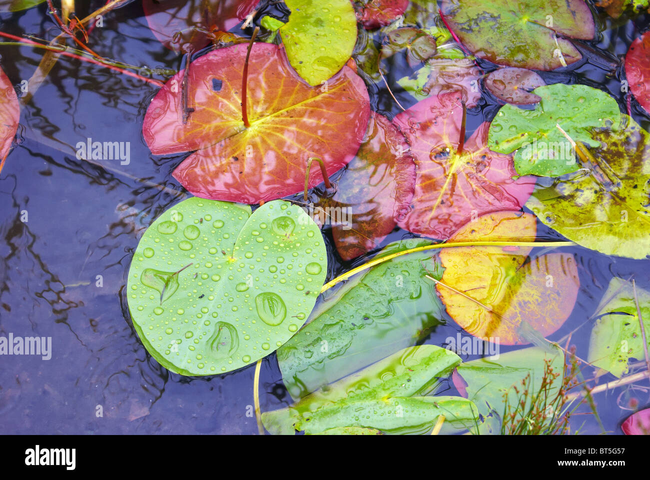 Leaves of water-lily on-the-spot water - Stock Image