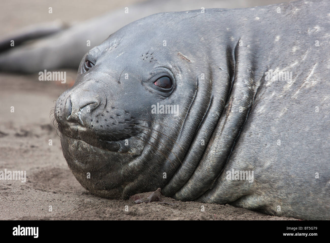 Elephant seals, Hannah Point, Livingston Island, Antarctica. - Stock Image
