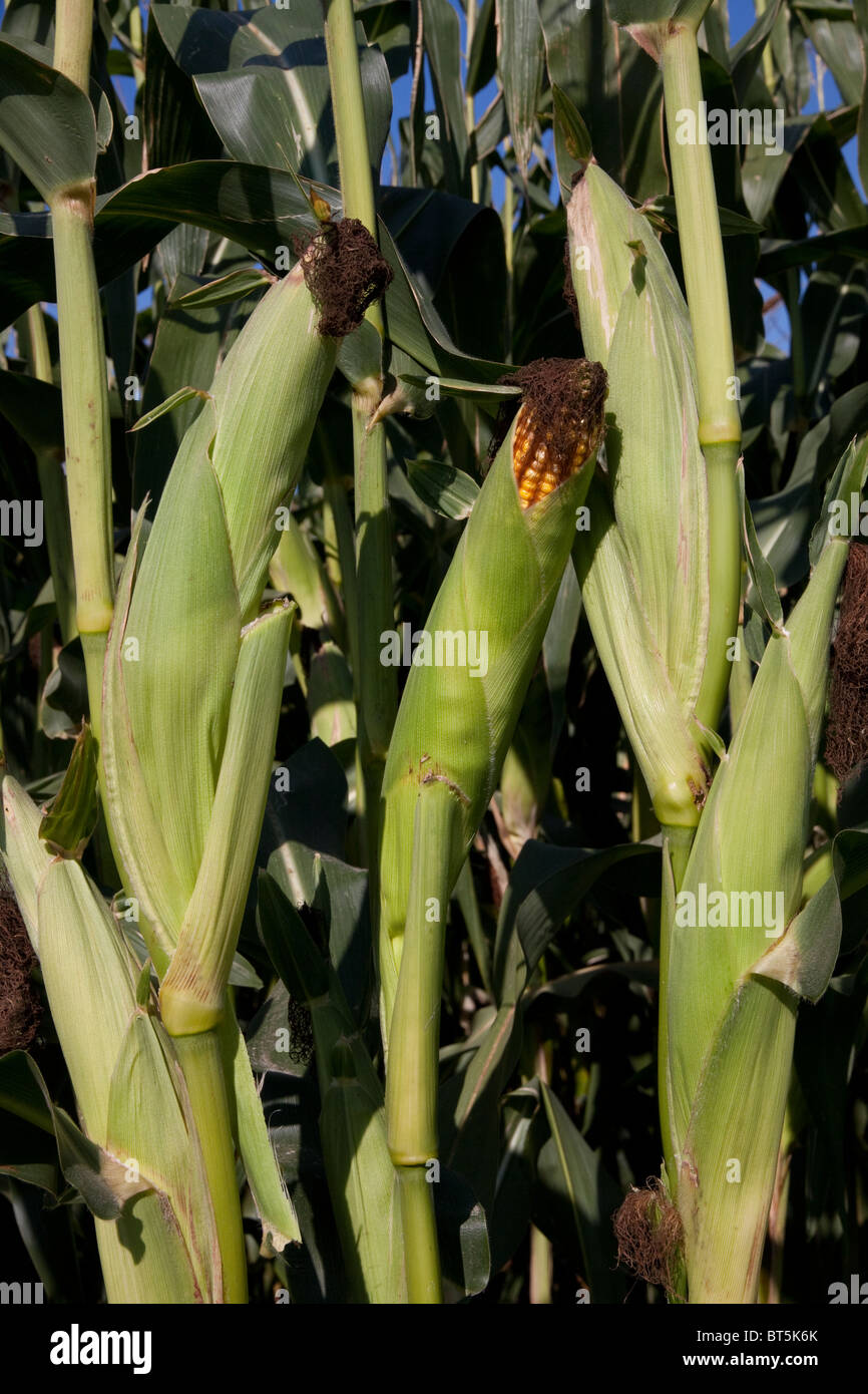 Ears of Field Corn Michigan USA - Stock Image