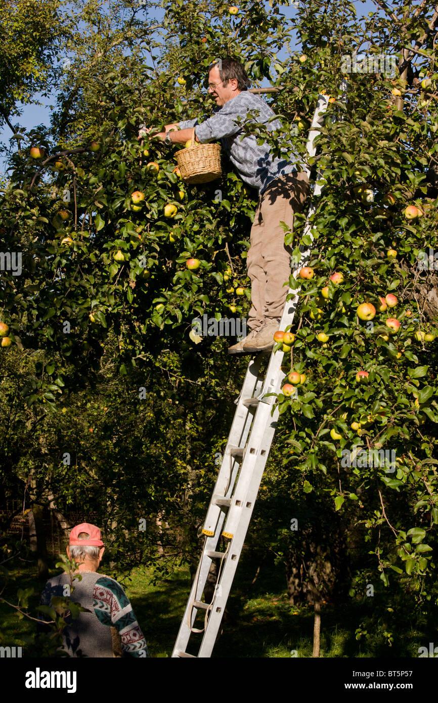 Apple-picking in orchard in the old saxon village of Viscri, Transylvania, Romania - Stock Image