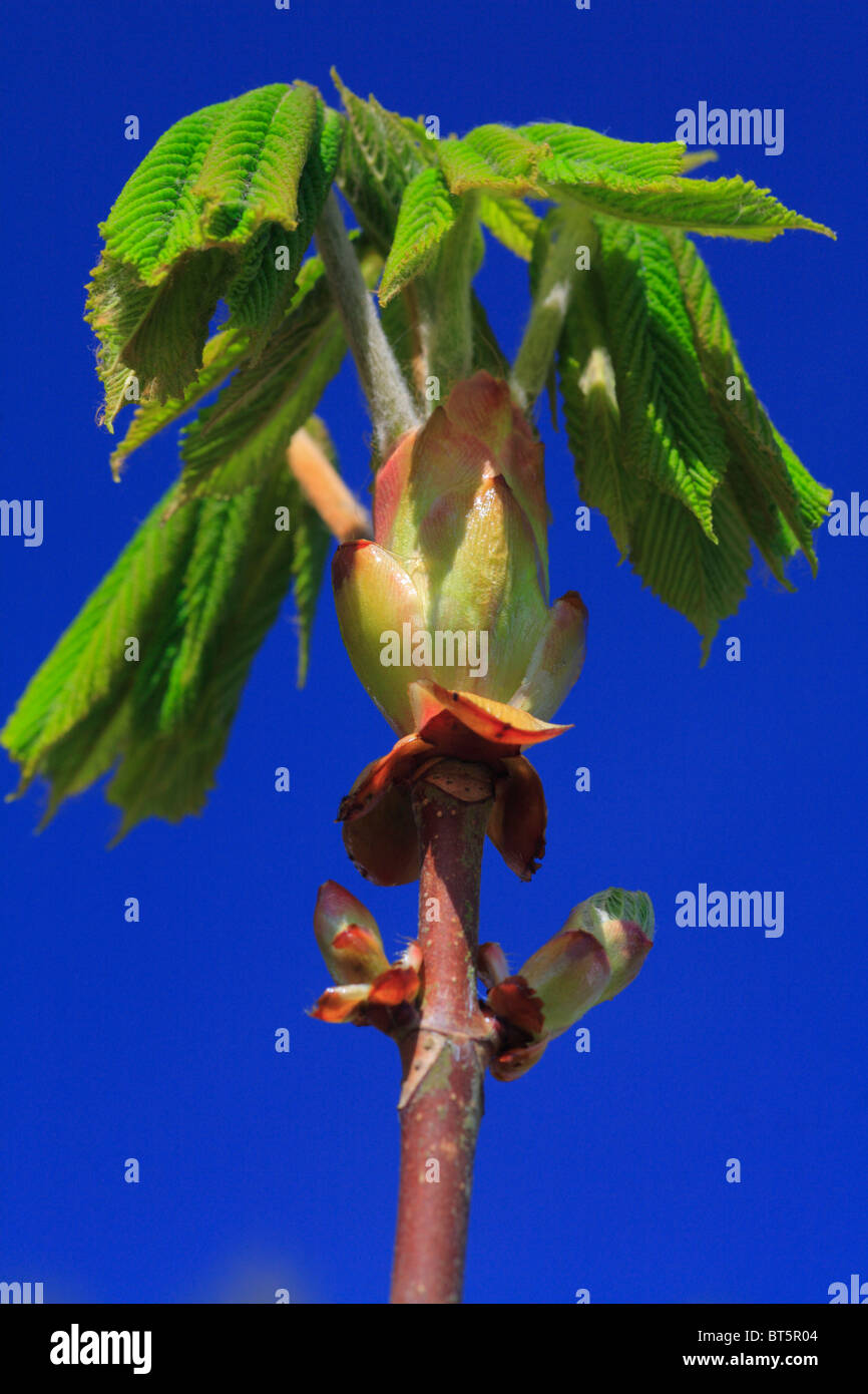 Spring leaves of Horse Chestnut (Aesculus hippocastanum) unfurling. Powys, Wales. - Stock Image
