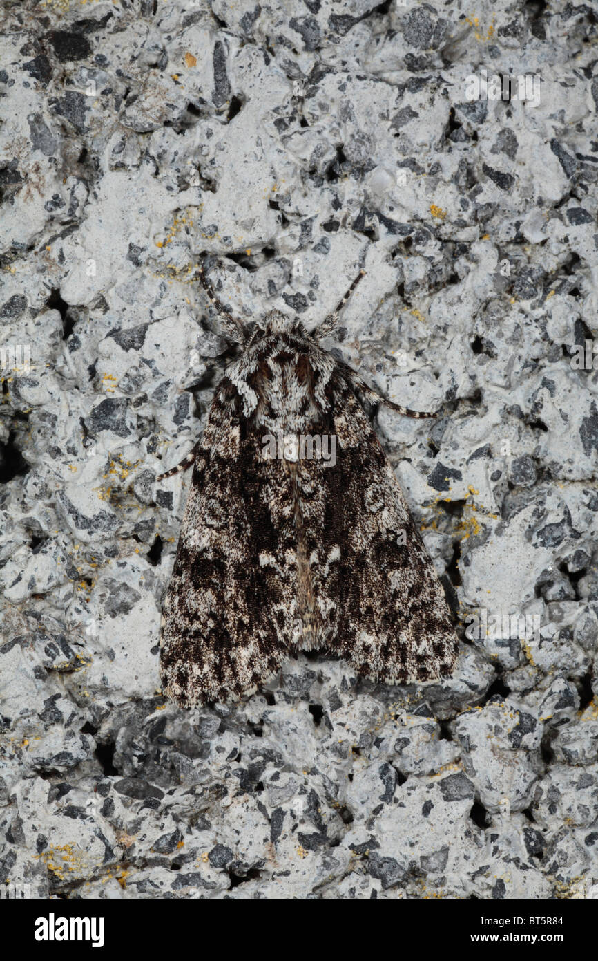 Knot Grass moth (Acronicta rumicis) resting on a concrete wall. Powys, Wales. - Stock Image