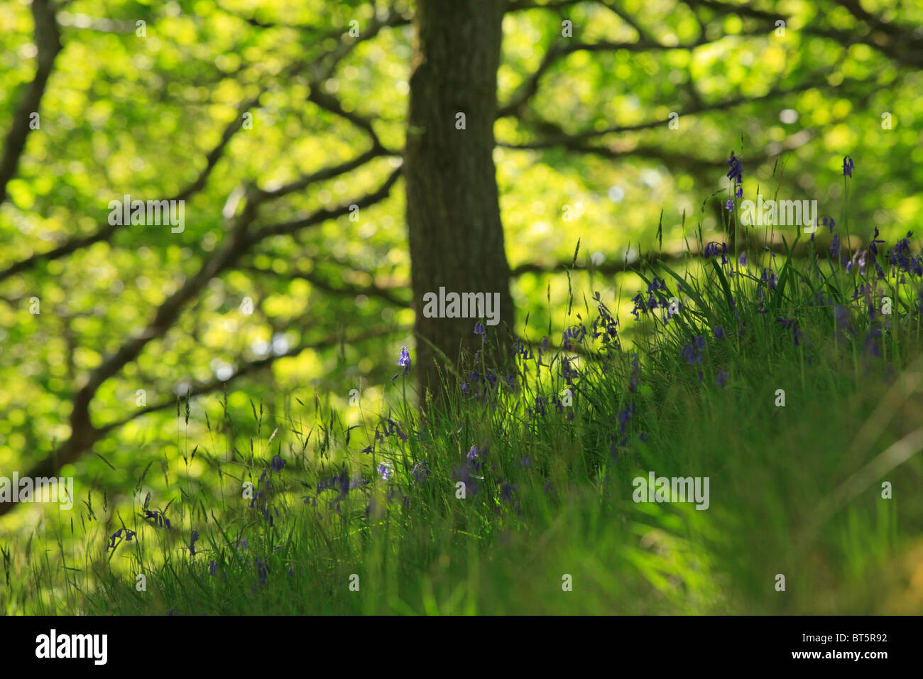 Bluebells (Endymion non-scriptus)) flowering in Oak woodland. Powys, Wales, UK. - Stock Image