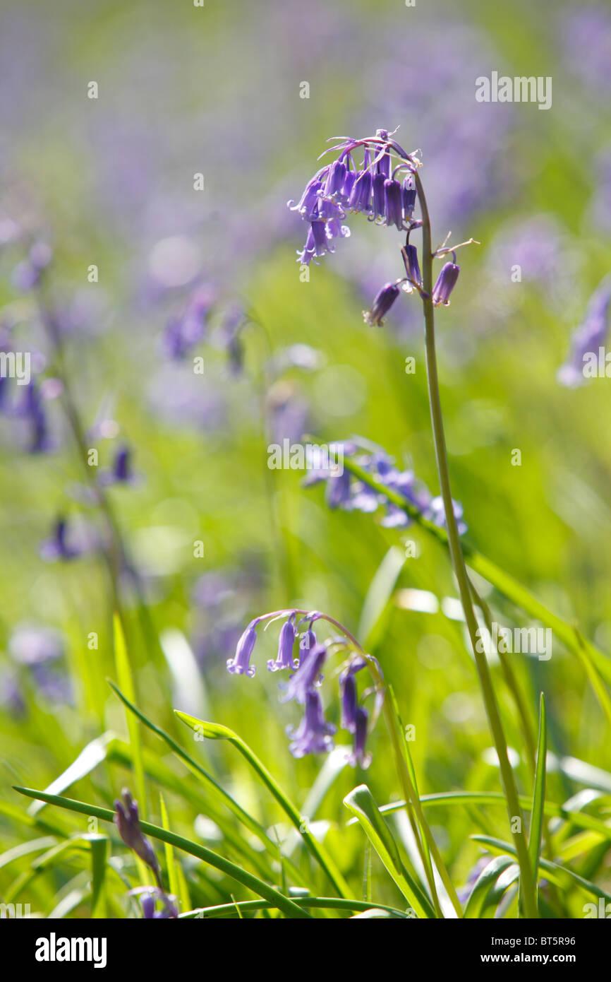 Bluebells (Endymion non-scriptus) flowering in sunshine. Powys, Wales, UK. - Stock Image