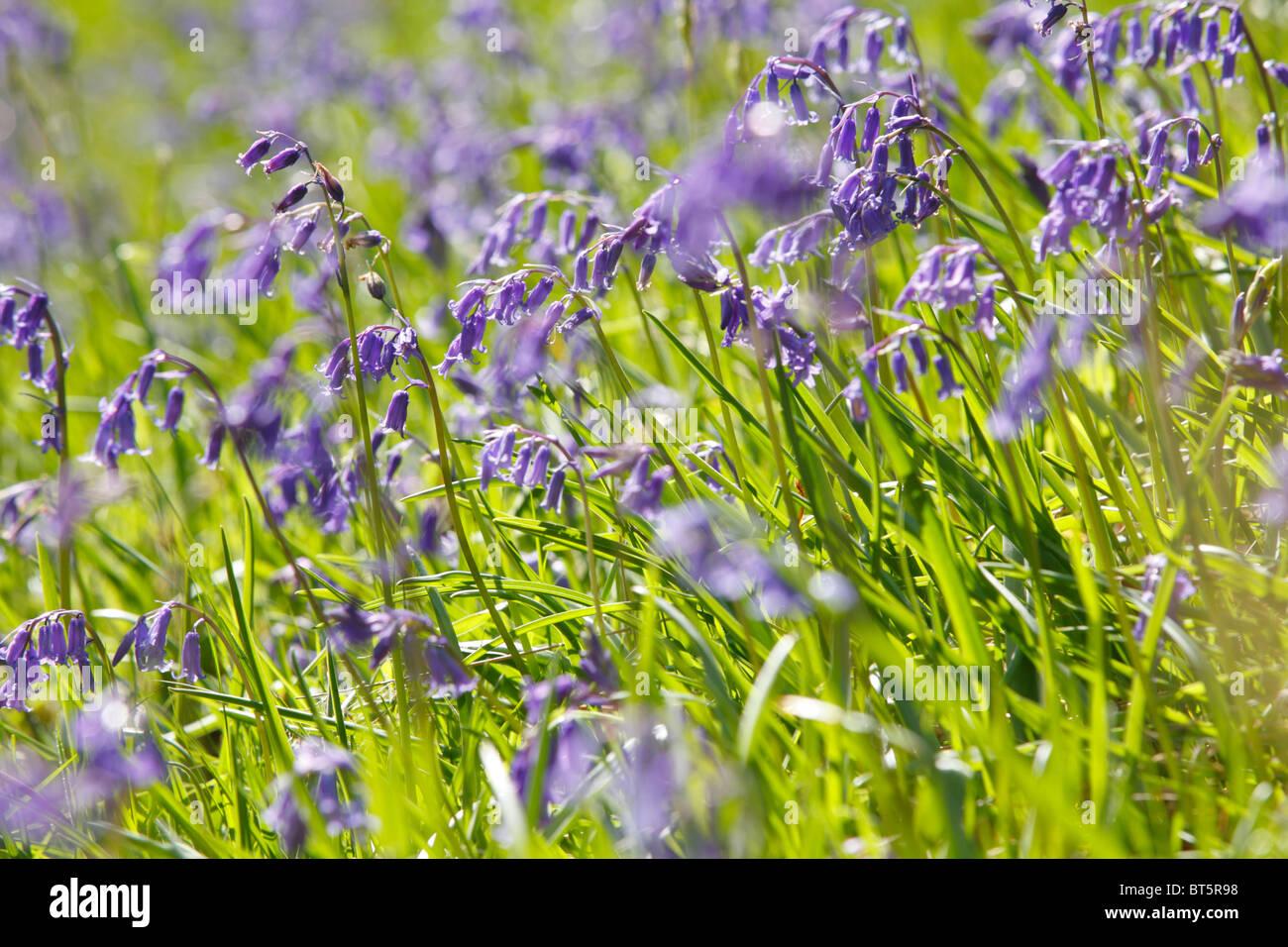Bluebells (Endymion non-scriptus) mass flowering in sunshine. Powys, Wales, UK. - Stock Image