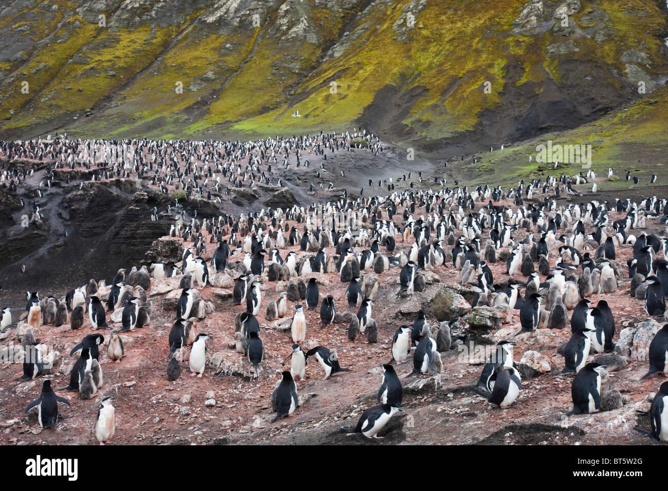 Chinstrap penguin colony, Deception Island, Antarctica. - Stock Image