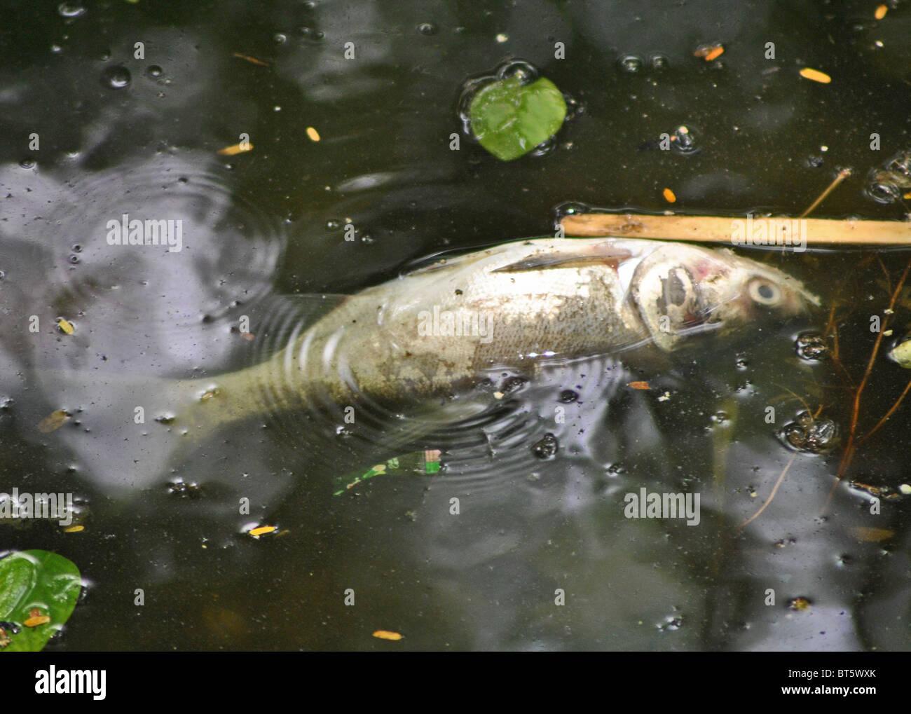 Dead fish in the polluted Hoan Kiem lake in Hanoi, Vietnam - Stock Image