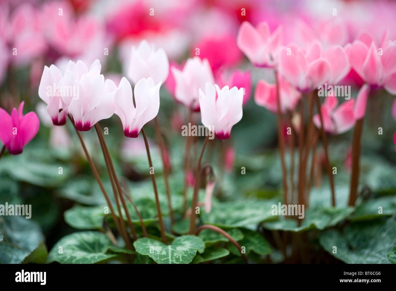 cyclamen flowers in autumn - Stock Image