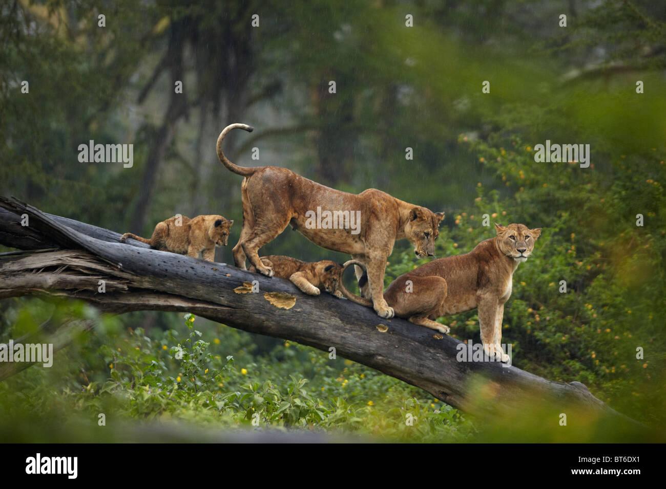 Lions sitting on a fallen tree trunk in Lake Nakuru, Kenya Stock Photo