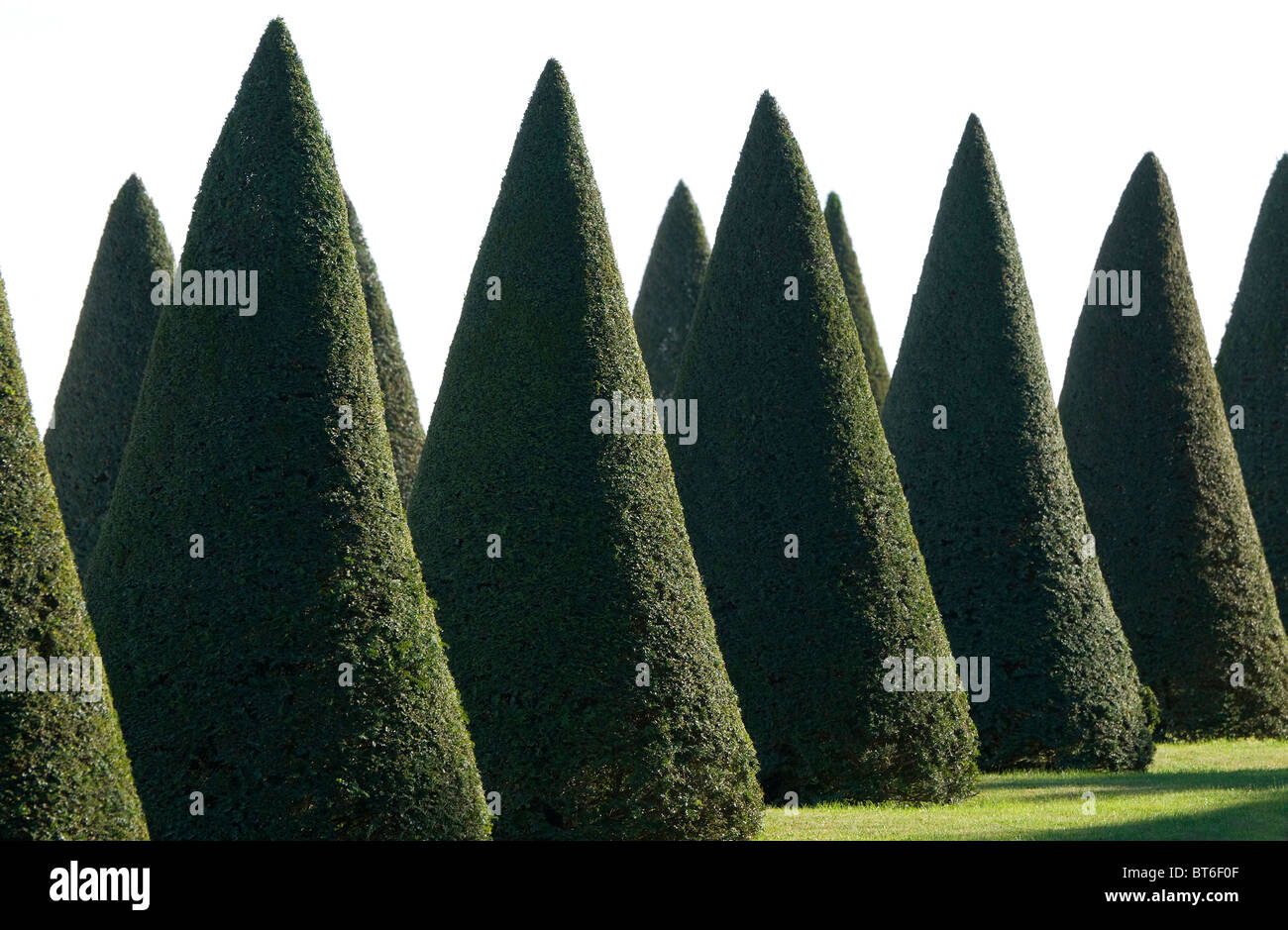 clipped conical shape yew trees - Stock Image
