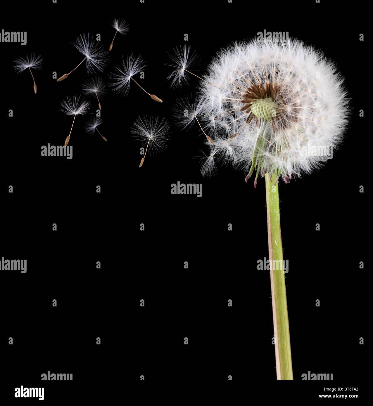 Dandelion seeds in the wind - Stock Image