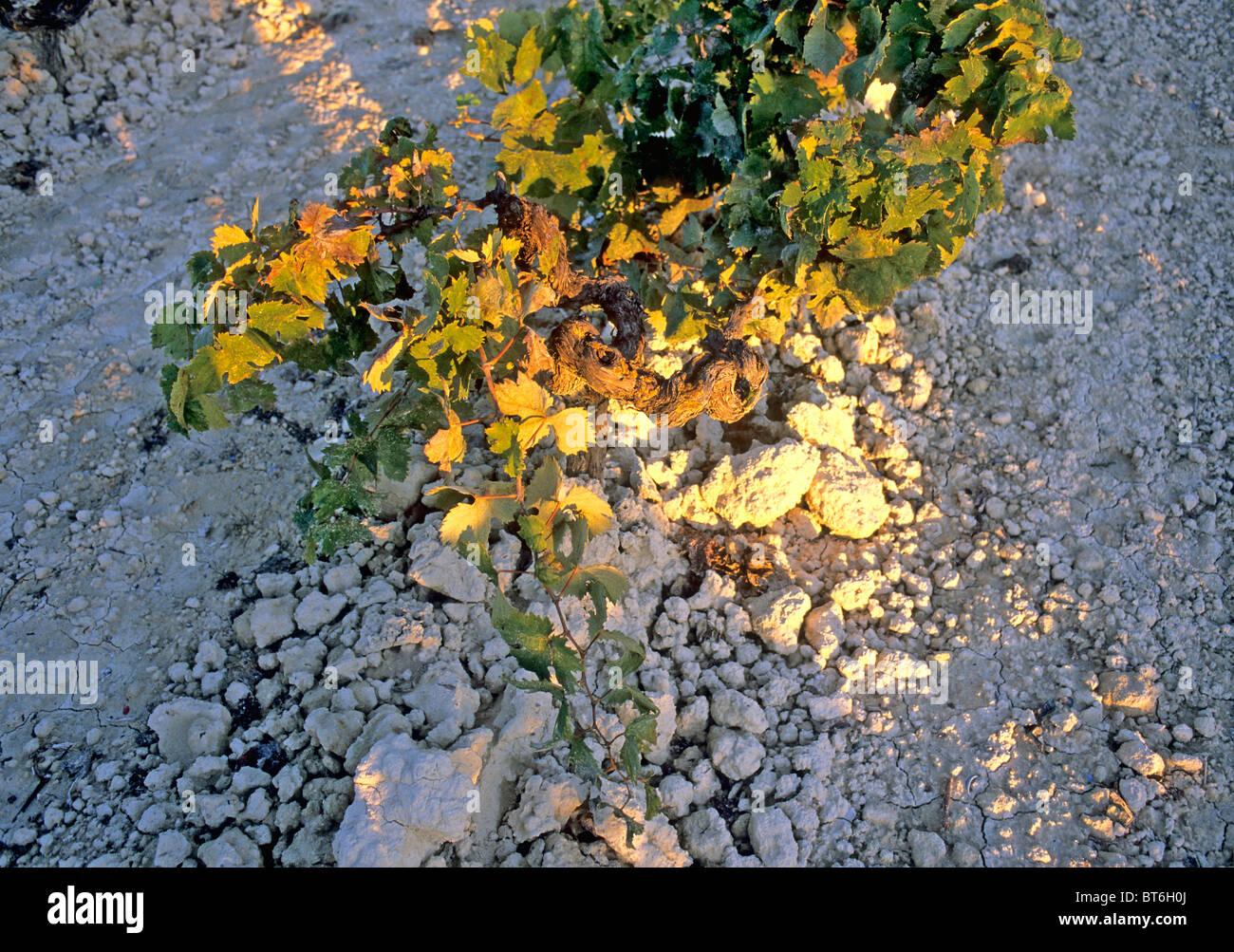 Cloe up of the vine  terroir in jerez. - Stock Image