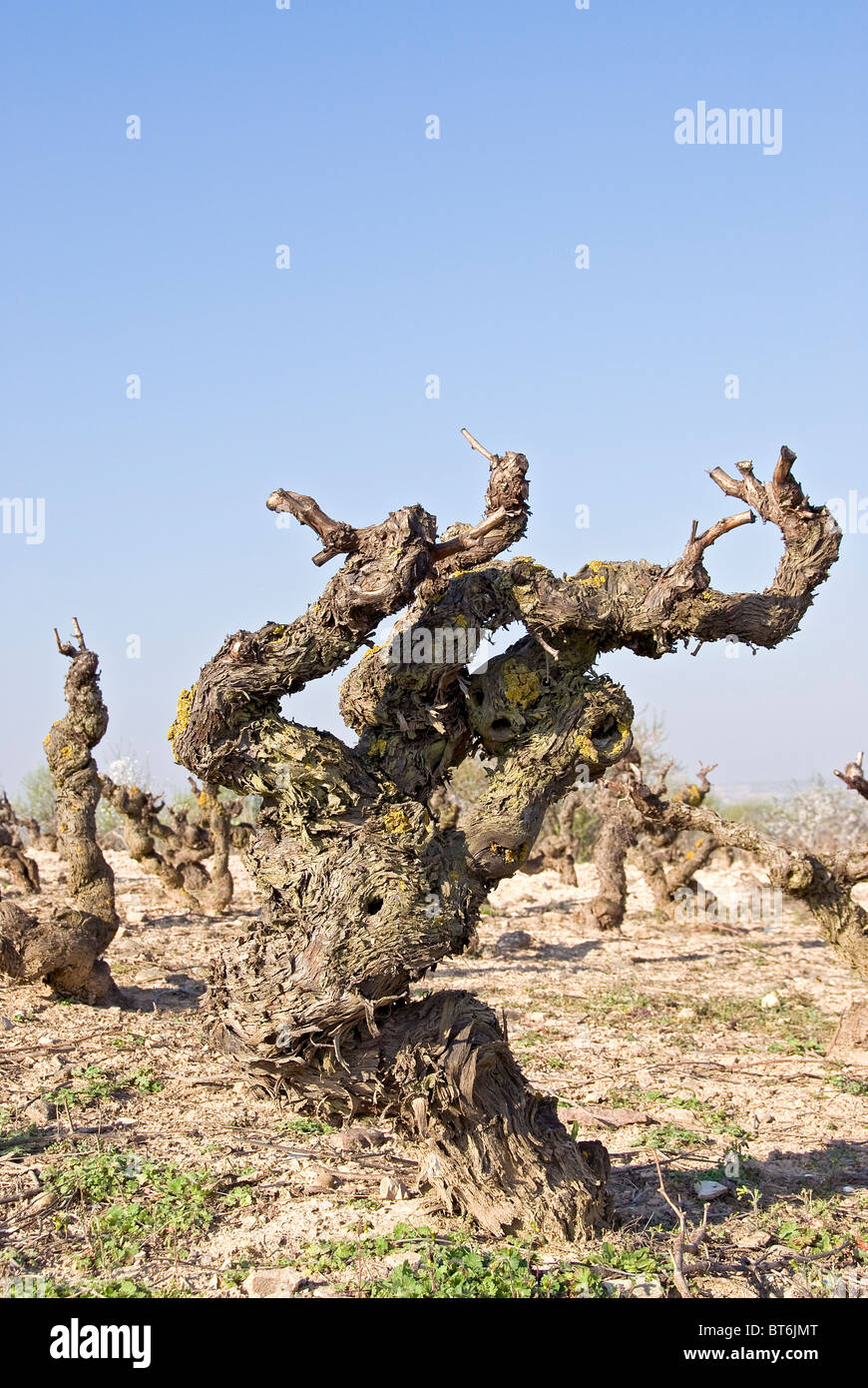 Vine plant in rioja with view on the terroir - Stock Image