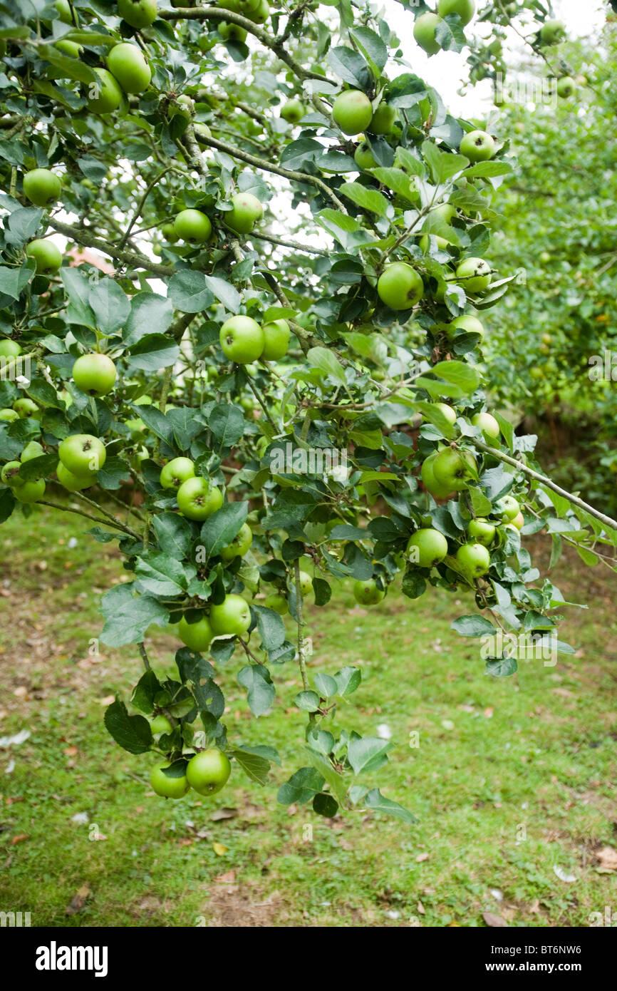 Apples ripening on a apple tree, Hampshire, England, United Kingdom. - Stock Image