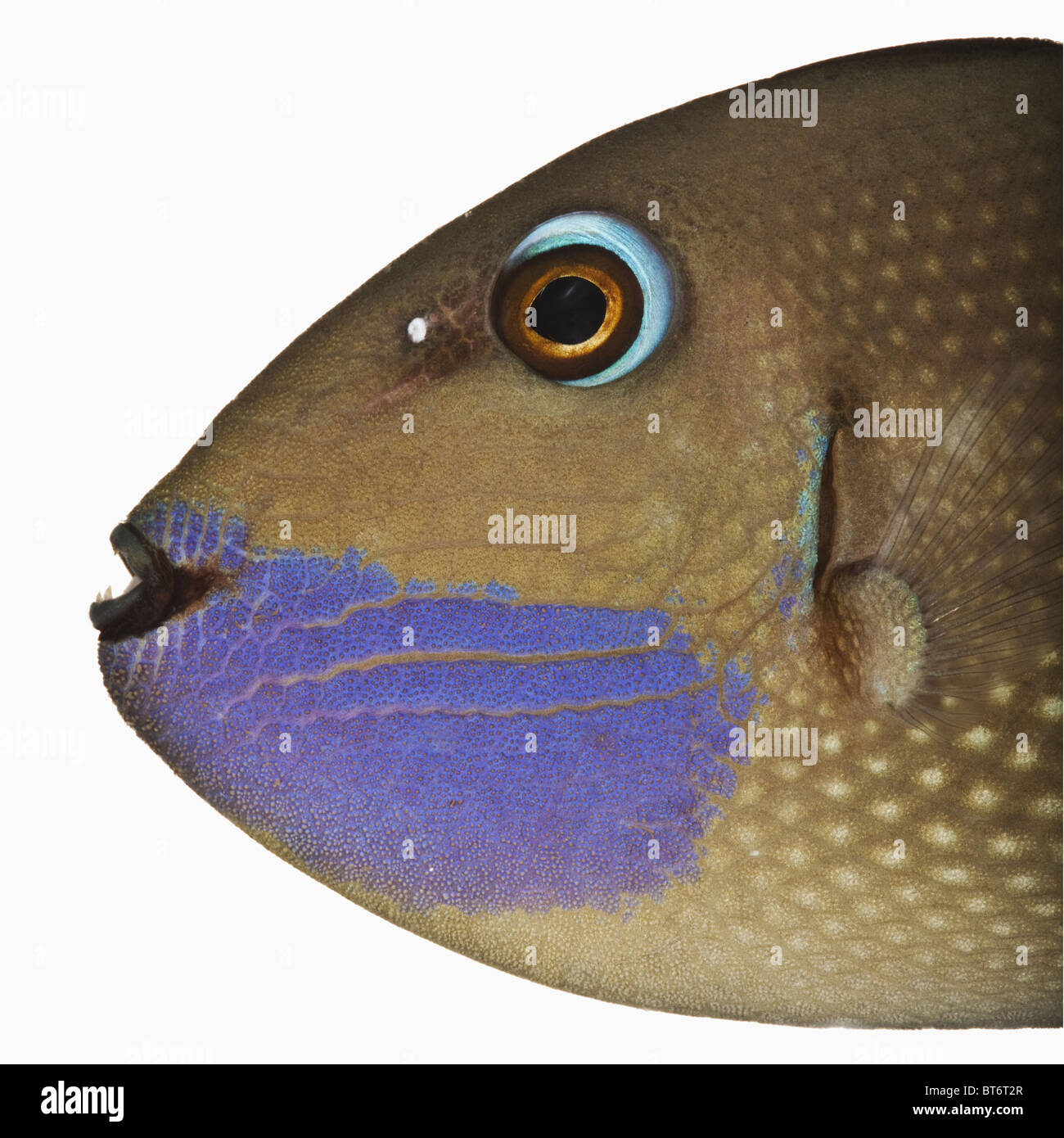 Blue face trigger fish (Xanthichthys auromarginatus).Studio shot against white background. - Stock Image