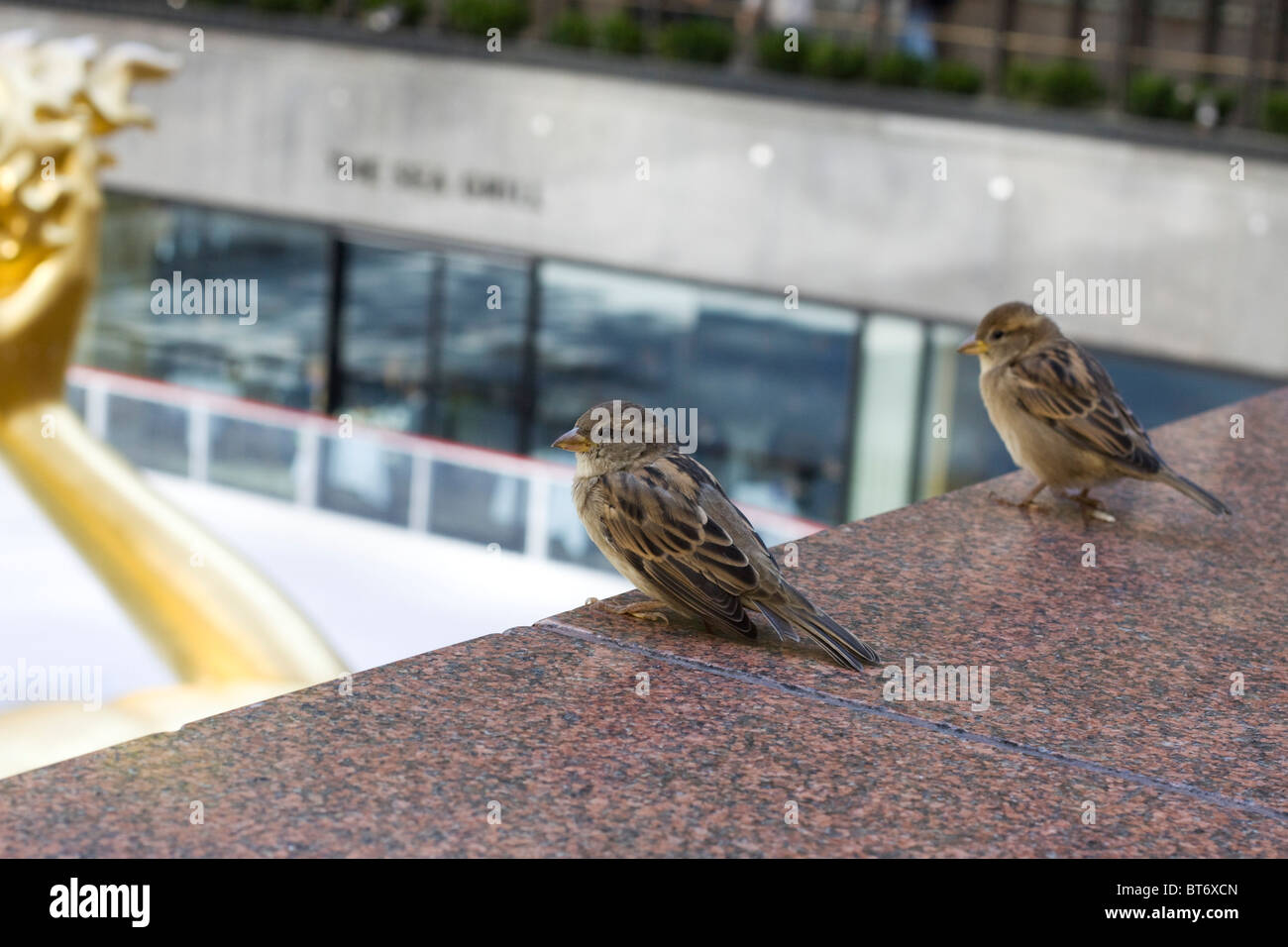 passerine birds looking out over the rockafella centre New York's City - Stock Image