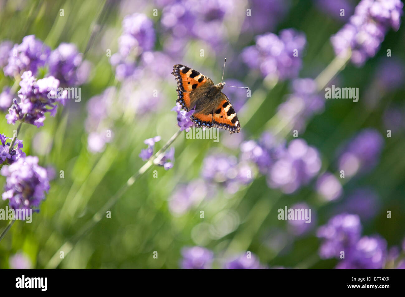 A tortoiseshell butterfly on lavender - Stock Image