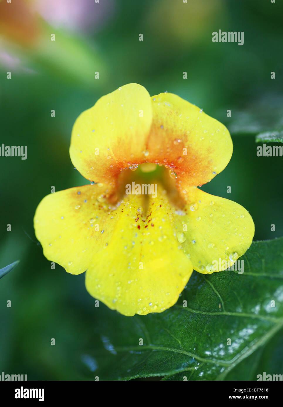Yellow Monkey Flower Stock Photos Yellow Monkey Flower Stock