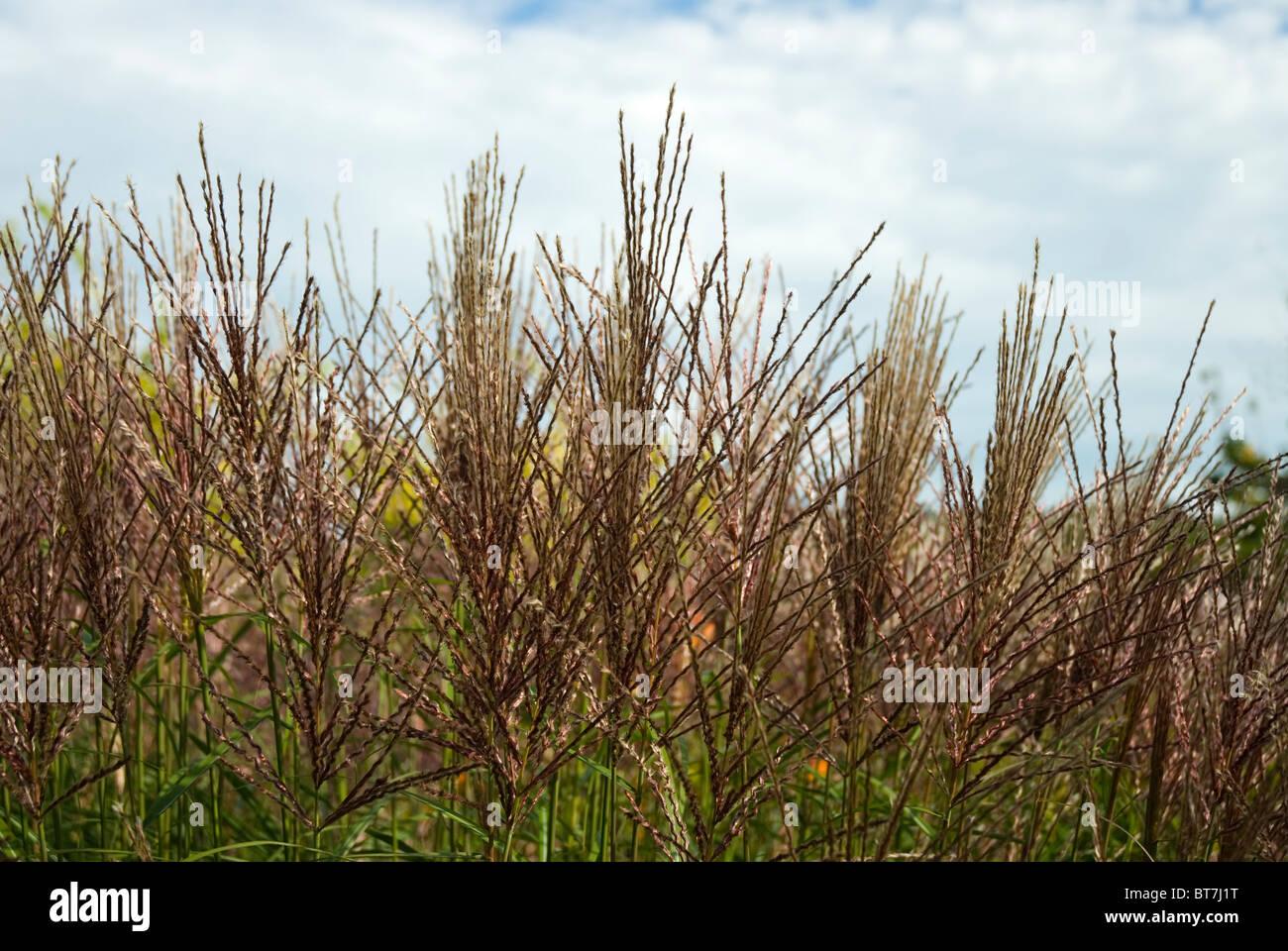 Miscanthus sinensis 'Krater', grasses - Stock Image