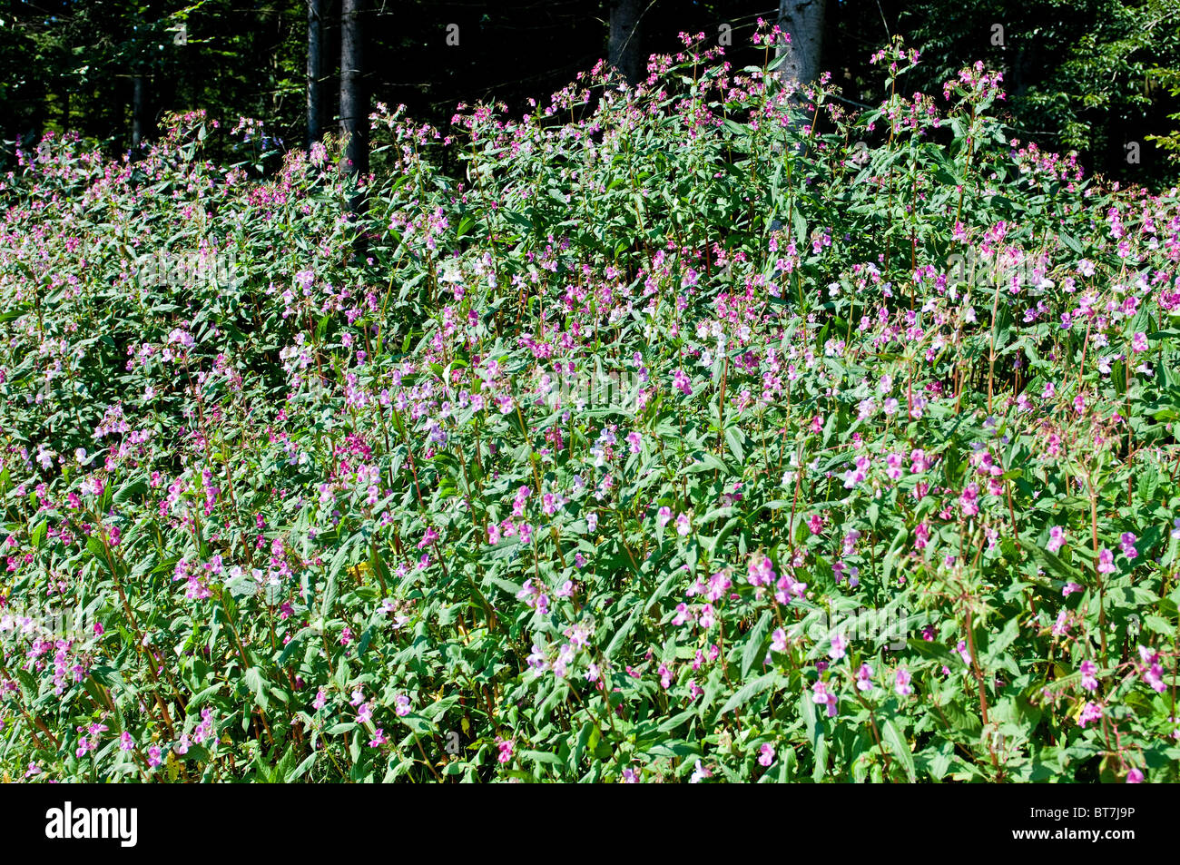 Himalayan Balsam is a pest plant in many parts of Germany Stock Photo