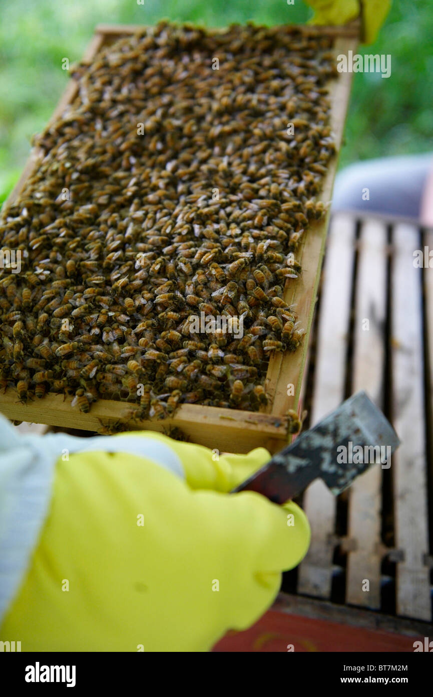 A frame of honey bees being inspected out of a bee hive by beekeeper with protective gloves on. - Stock Image