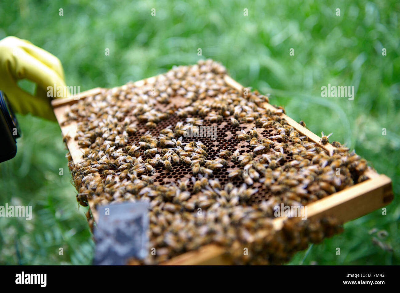 Frame of honey bees from a beehive being inspected by a beekeeper - Stock Image