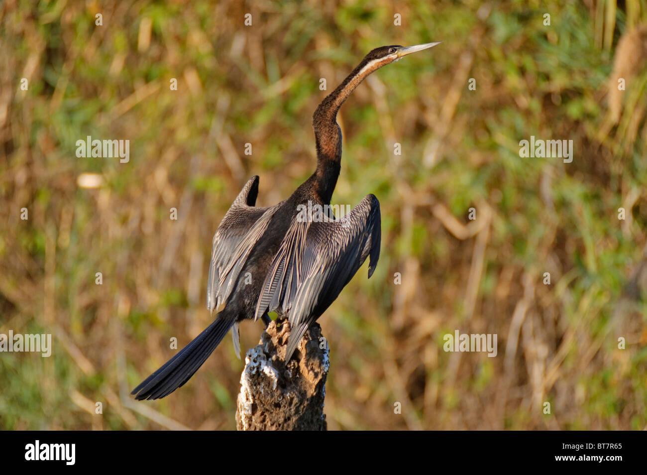 Oriental Darter or Snakebird (Anhinga melanogaster ) on the Okawango River, Botswana, Africa - Stock Image