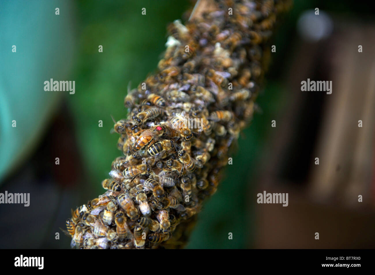 Cluster of honey bees, queen bee marked with red spot on a frame from a hive - Stock Image