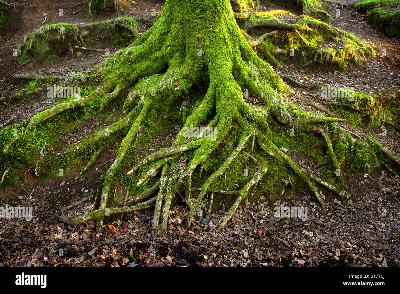 Moss covered tree roots. - Stock Image