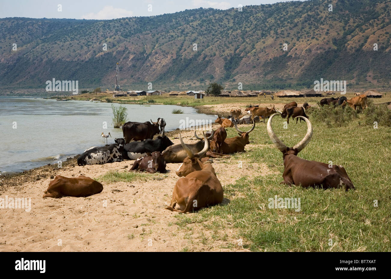 Herd of Ankole cattle on the shore of Lake Albert with oil exploration rig in background, Northern Uganda, East - Stock Image