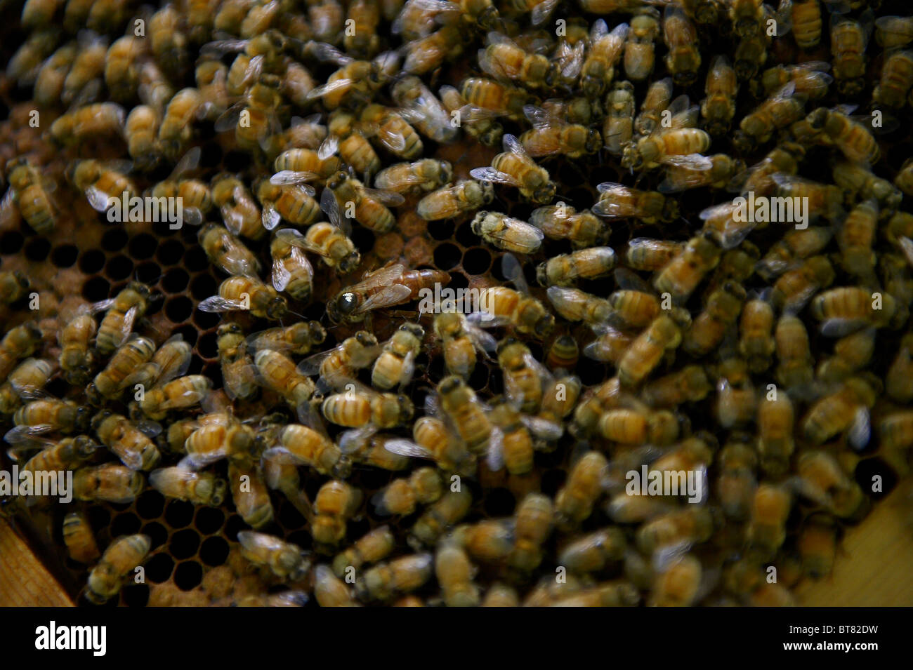 A Queen bee on a frame of brood from a beehive, surrounded by worker bees. - Stock Image