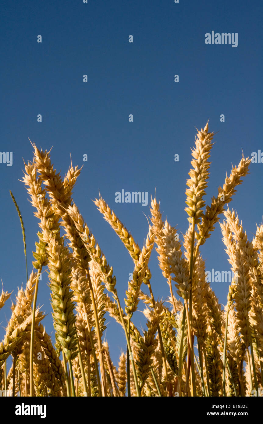 ears of corn harvest - Stock Image