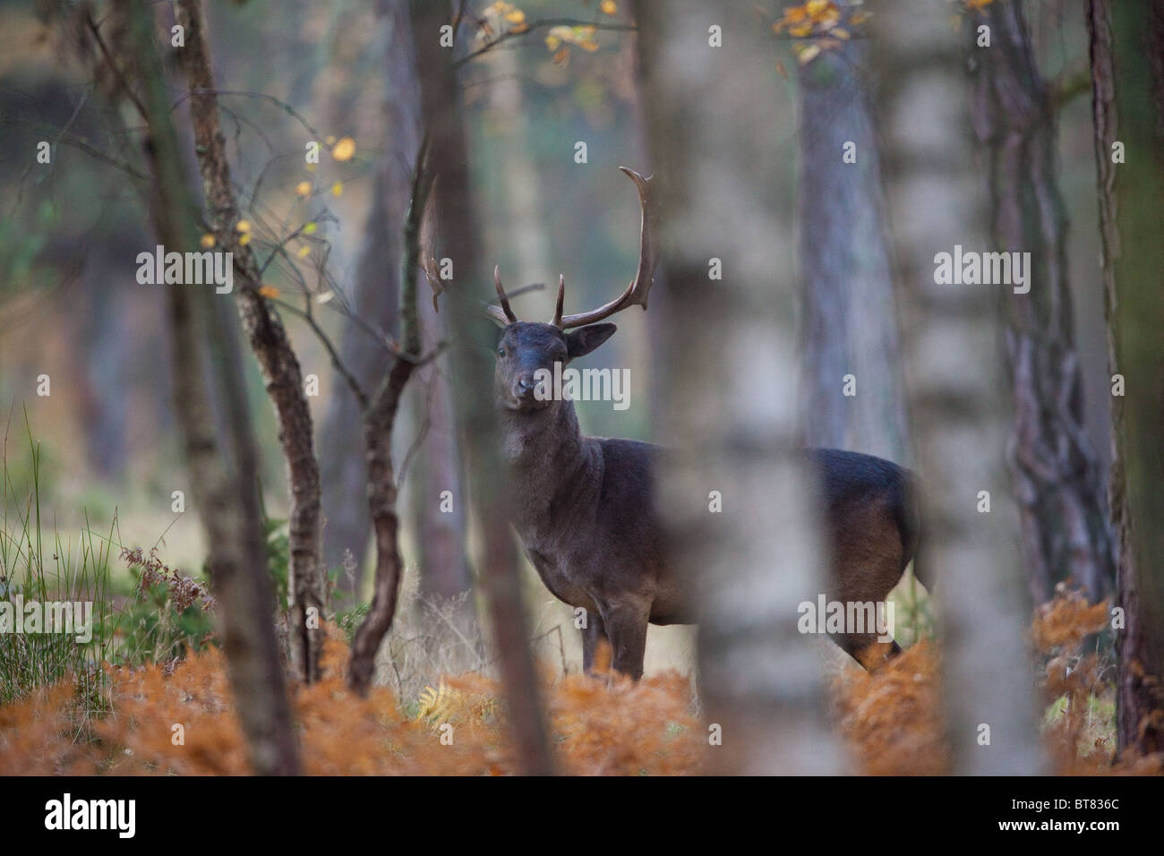 Fallow deer at the island Hankø in southeastern Norway. - Stock Image