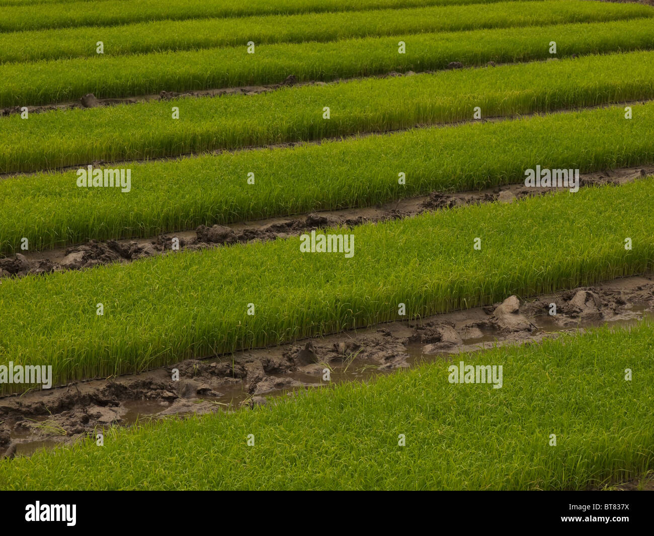 Rice field in China - Stock Image