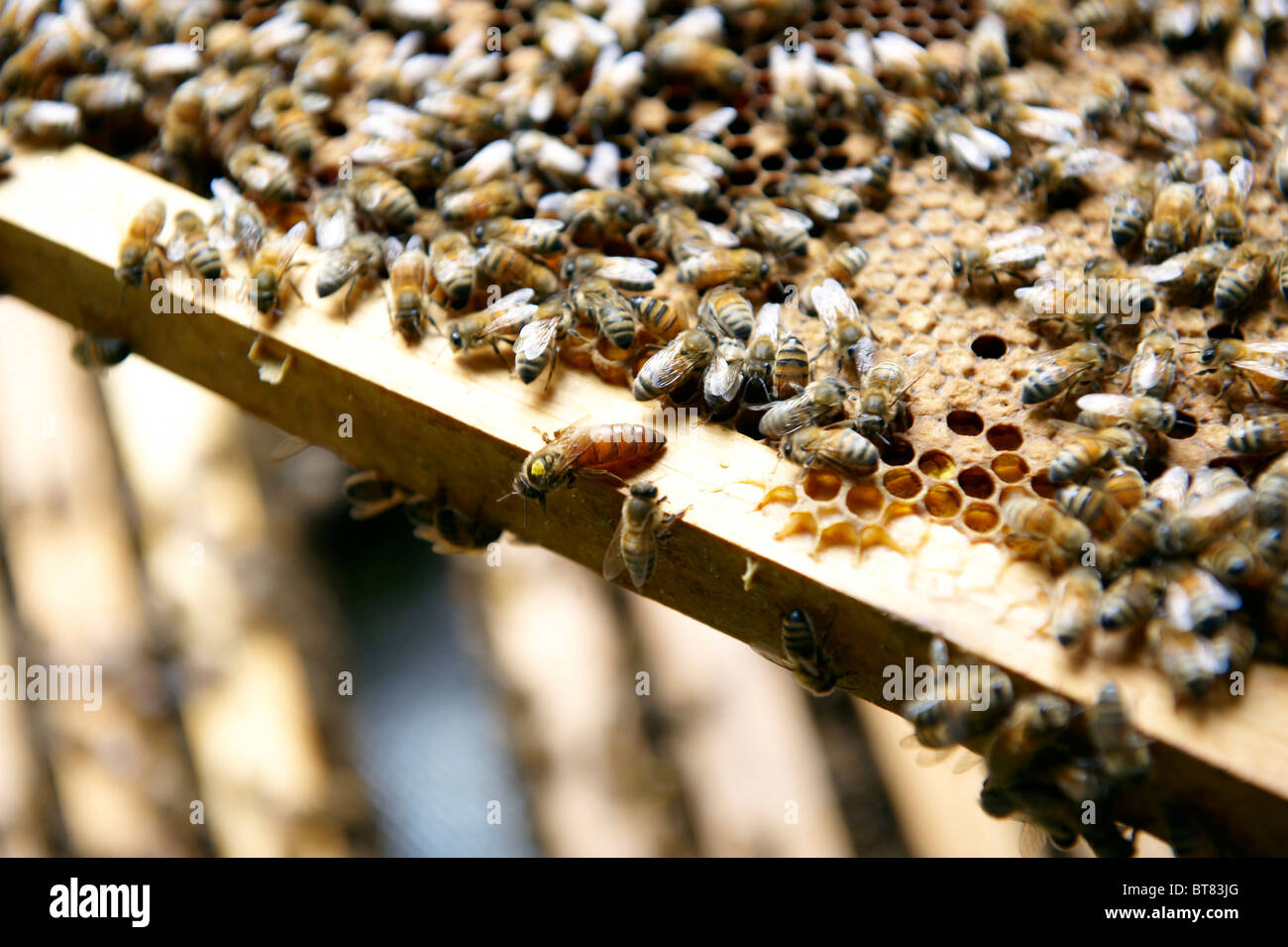 A Queen bee on the edge of a frame of brood from a beehive, surrounded by worker bees. - Stock Image
