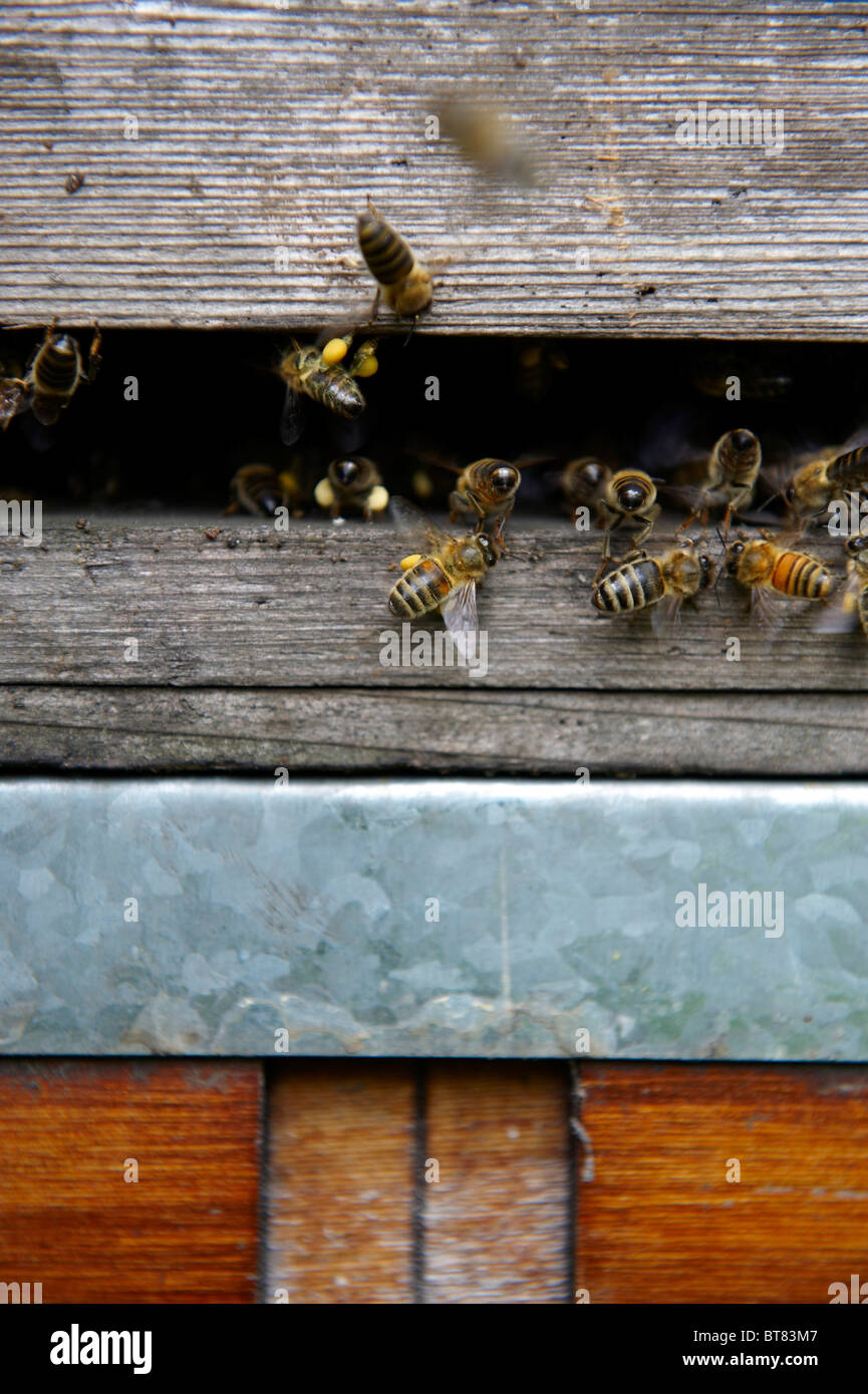 Bee hive entrance showing bees flying and bringing pollen into the hive - Stock Image