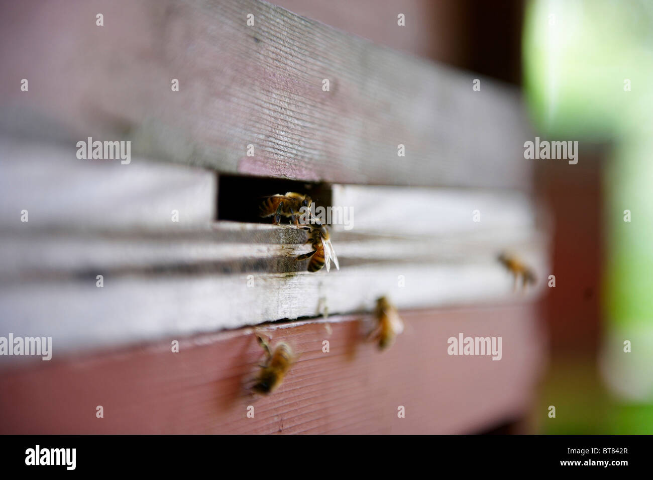 2 honey bees at entrance to a beehive - Stock Image