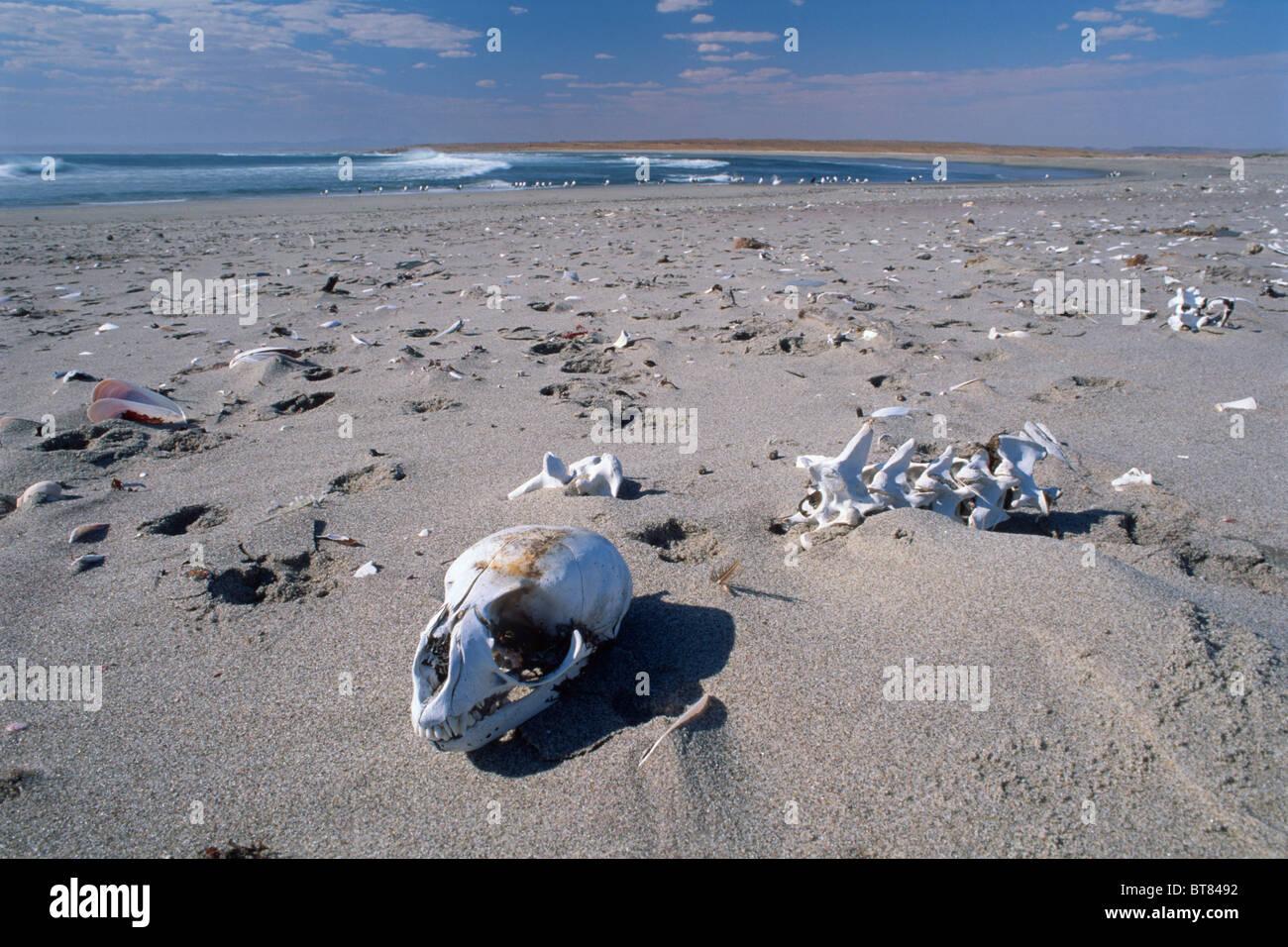 Skull and skeletons on Skeleton Coast, Namibia, Africa - Stock Image