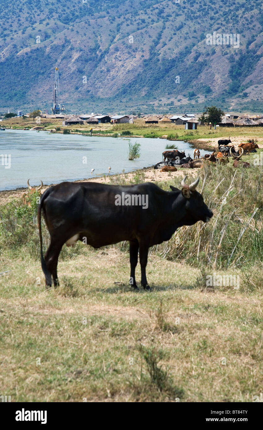 Cow from herd of Ankole cattle on the shore of Lake Albert with oil exploration rig and local village in background, - Stock Image