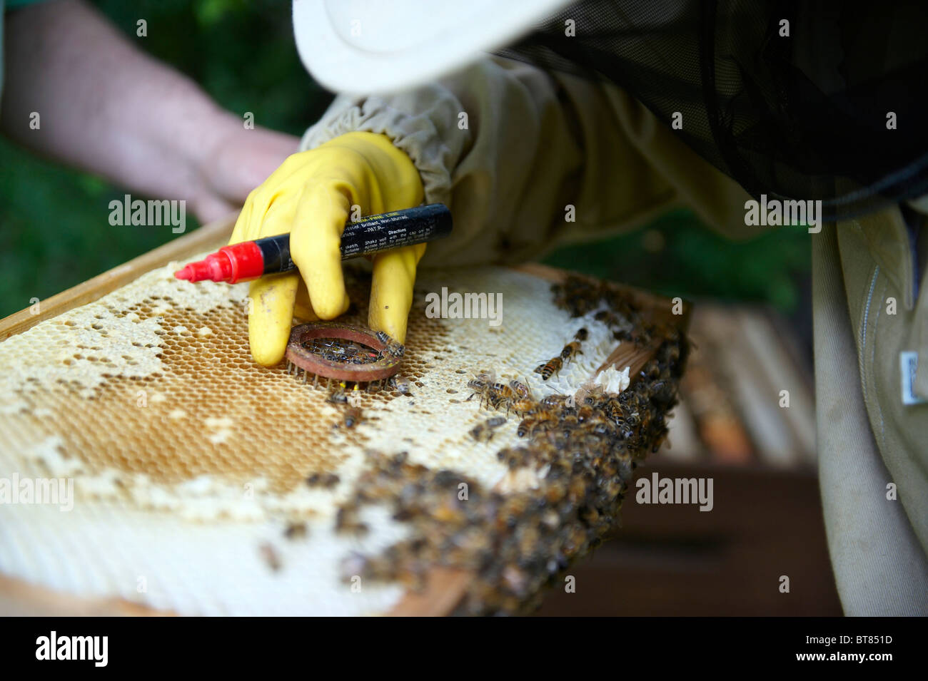 Beekeeper in protective clothing marking a queen bee on a frame from Bee hive. - Stock Image