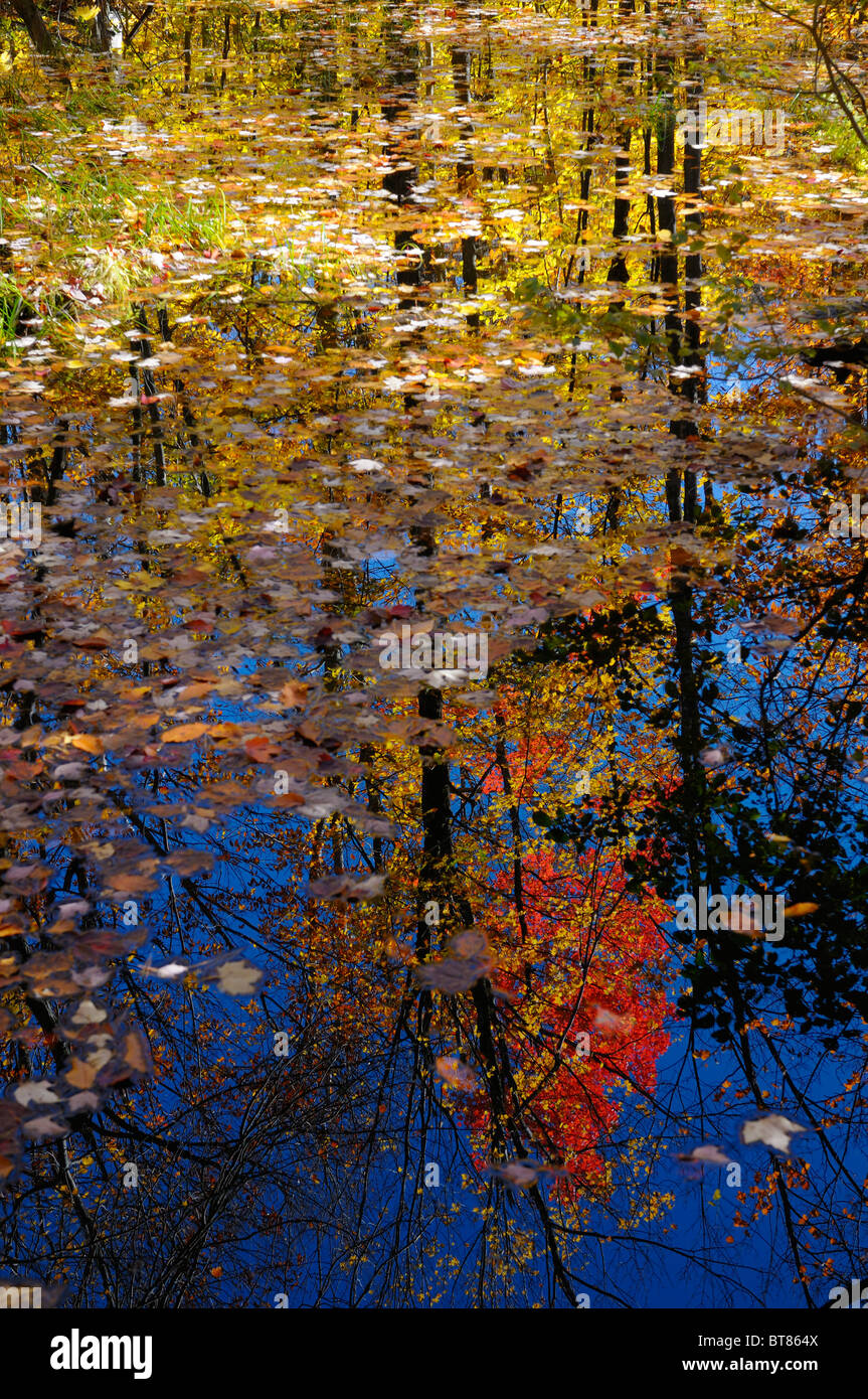 Colorful leaves floating in a still pond reflecting trees in the Fall on Blanchet Trail Gatineau Quebec Canada - Stock Image