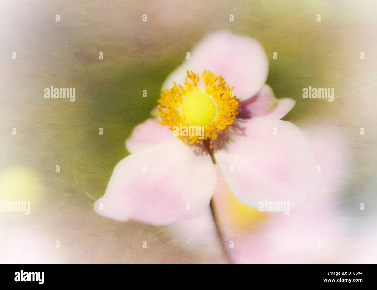 A painterly and textured image of a dreamy pink Anemone. - Stock Image