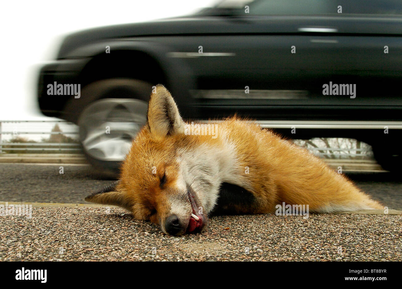 A Dead Fox Lies In The Gutter After Being Hit By A Car On