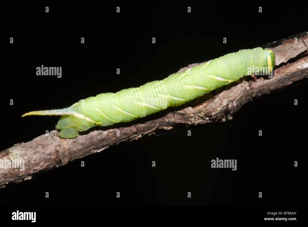 Twin-spotted Sphinx Moth (Smerinthus jamaicensis) caterpillar (larva) on a branch - Stock Image