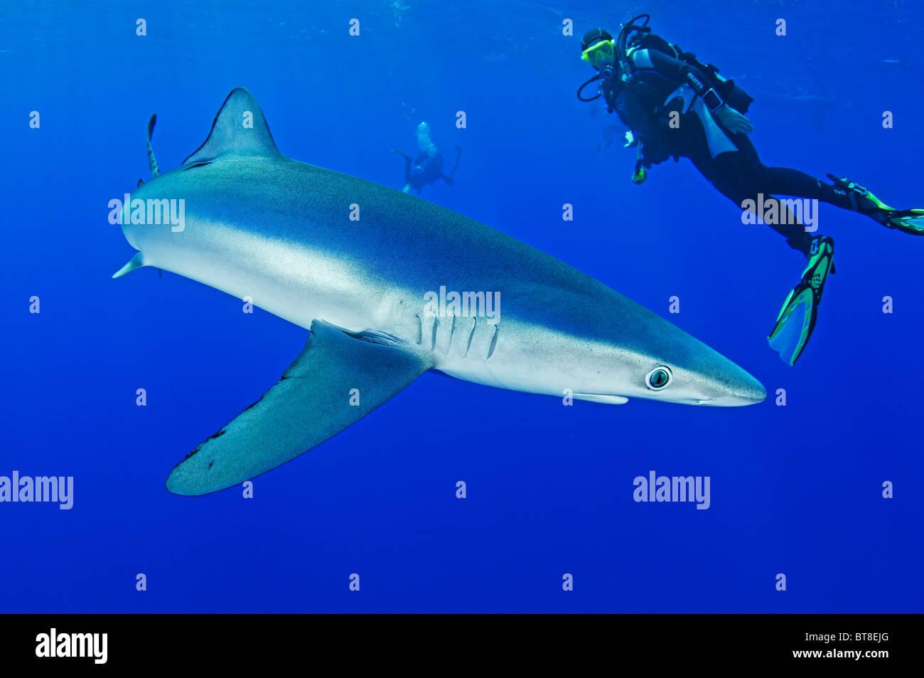 Blue Shark and scuba diver, Prionace glauca, Azores, Portugal, Atlantic Ocean Stock Photo