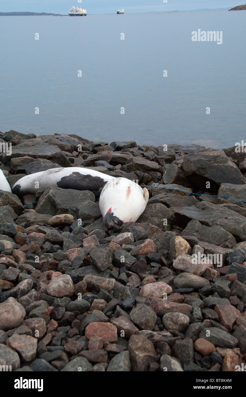 Arctic Canada, Nunavut, Baffin Island, Iqaluit (aka Frobisher Bay). Dead seals on port area beach hunted for meat - Stock Image